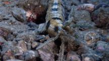 Lion'S Paw Sea Cucumber Feeding (Euapta Godeffroyi)
