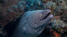 Blackspotted Moray Eel Cleaned By Wrasse