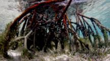 Mangrove Roots And Grass, Cat Island Bahamas