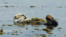 Sea Otter Grooming His Fur, Morro Bay, CA