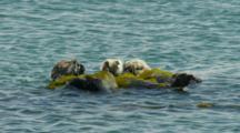Three Sea Otters Grooming Rolled Up In Kelp