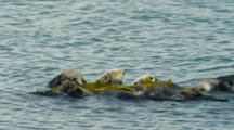 Sea Otter Grooming And Rolling In Kelp, Morro Bay, CA