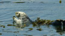 Sea Otter Rolling In Kelp, Morro Bay, CA