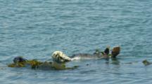Sea Otters Grooming And Rolling In Kelp, Morro Bay, CA