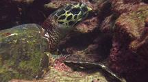 Hawksbill Turtle Feeds On Reef