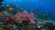 School Of Anthias Above Colorful Coral Reef
