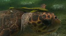 Loggerhead Sea Turtle With Remora
