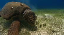 Loggerhead Sea Turtle Over Sea Grass