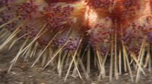 Fire Sea Urchin