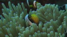 Panda Anemonefish