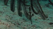 Ornate Ghost Pipefish With Matching Crinoid