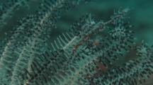 Ornate Ghost Pipefish In Crinoids