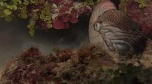 Chamber Nautilus