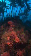 Swim Over Rocky Reef And Purple Hydrocoral Below Kelp