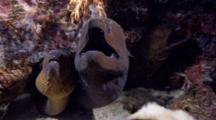 Giant And Yellow-Margin Morays Being Cleaned By Shrimp