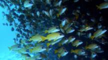 School Of Blue-Lined Snapper Under Ledge, Maldives
