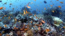 Anthias Fish School Over Coral Reef
