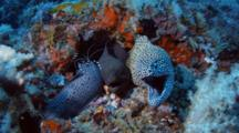 Honeycomb And Giant Moray In Same Hole Being Cleaned