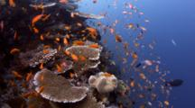 Hard Coral Reef With Schooling Anthias Fish