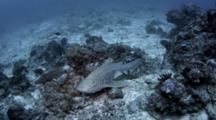 Zebra Shark, Stegostoma Fasciatum
