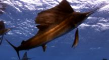 Sailfish Feeding On Baitballs