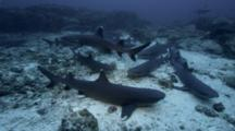 Group Of White-Tip Reef Sharks At Cocos Island