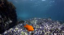 Garibaldi and senoritas above urchin barren