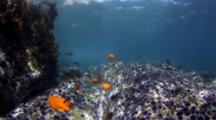 Purple Urchins, senoritas And Garibaldi