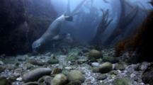 Sea Lions Eat Rocks Near San Diego, California