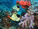 Pair Of Saddled Butterflyfish Swim Around An Area Of Colourful Reef.
