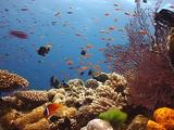 Tropical Coral Reef Scenic, Anemonefish, Fans, Hard Corals