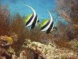Pair Of Colourful Fish (Longfin Bannerfish) Swim Together