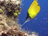 Forceps Butterflyfish Feed And Swim Together