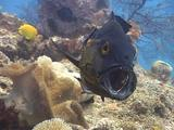 Large Fish (Black-And-White Snapper) Gets Mouth Cleaned By Cleaner Wrasses. He Opens Mouth And Gills Wide.