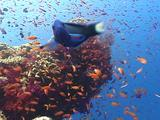 Colorful Coral Reef Scenic, Soft Corals, Anthias, Fish Peers Into Camera Lens