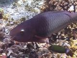 Parrotfish Feeds