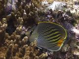 Dot-And-Dash Butterflyfish Feeds