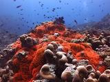 Flourescent Red Anemone With Tomato Clownfish