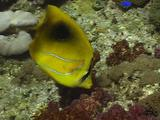 Bennet's Butterflyfish Feeding