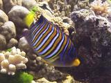 Colourful Fish ( Regal Angelfish ) Feeds