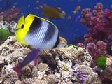 Colourful Reef Fish ( Pacific Double-Saddle Butterflyfish ) Feeds, Swims Over Reeftop