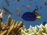 Palette Surgeonfish Dips In An Out Of The Staghorn Coral