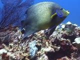 Colourful Reef Fish ( Semicircle Angelfish ) Looks At Camera, Turns Away, Returns, Swims Across Sea Fan