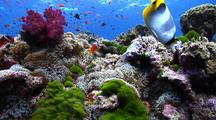 Locked Wide Angle Shot Of Shallow Fiji Reef With Anemonefish, Anthias And Butterflyfish