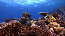 Locked Shot Of Beautiful Shallow Hard Coral Reef With Schooling Damselfish, Fusiliers And Other Reef Fish.