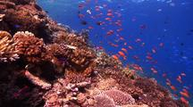 Lock Shot Of Beautiful Shallow Reef With Many Pretty Schooling Fish And Hard Corals.