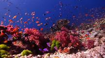 Beautiful Wide Angle Scene Of Shallow Fijian Reef With Pretty Fish Schooling And Passing Through.