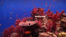 Beautiful Wide Angle Scene Of Shallow Fijian Reef With Pretty Fish Schooling And Fully Puffed Up Soft Corals.