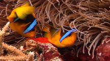 Medium Close Shot Of Orange Fin Anemonefish Tending Eggs.