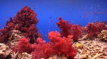 Locked Shot Of A Spectacular Soft Coral Reef With Lots Of Pretty Fish.